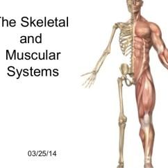 Skeletal And Muscular System Diagram Polaris Predator 500 Wiring
