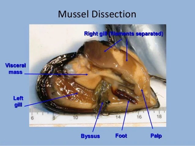 clam dissection diagram swm 16 wiring mussel