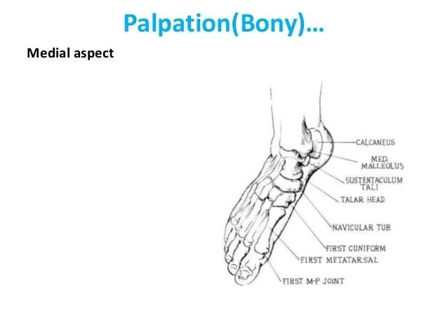 Tendons Anatomy Dorsal Foot