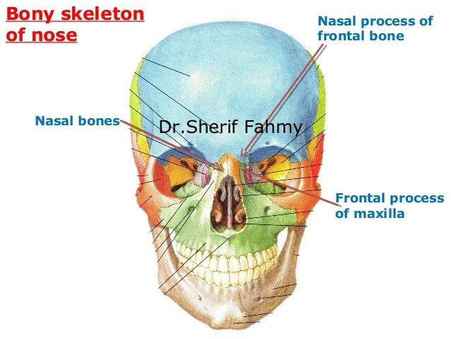 Bony Hard Palate Anatomy