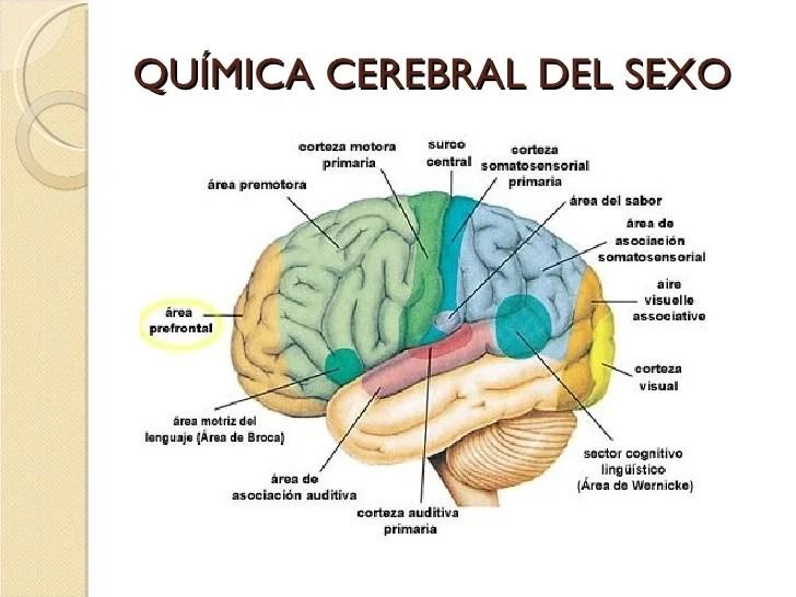 https://i0.wp.com/image.slidesharecdn.com/neurofisiologa-neuropsicologa-y-enfoque-neurocientfico-de-la-sexualidad-humana-1213843962738516-9/95/neurofisiologa-neuropsicologa-y-enfoque-neurocientfico-de-la-sexualidad-humana-39-728.jpg