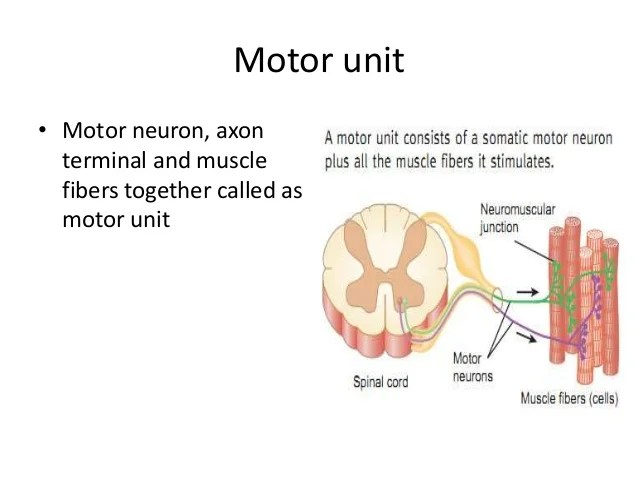 Describe The Anatomy Of A Motor Unit | motorwallpapers.org