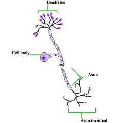 Basic Neuron Diagram Wiring Dual Battery System Neurons