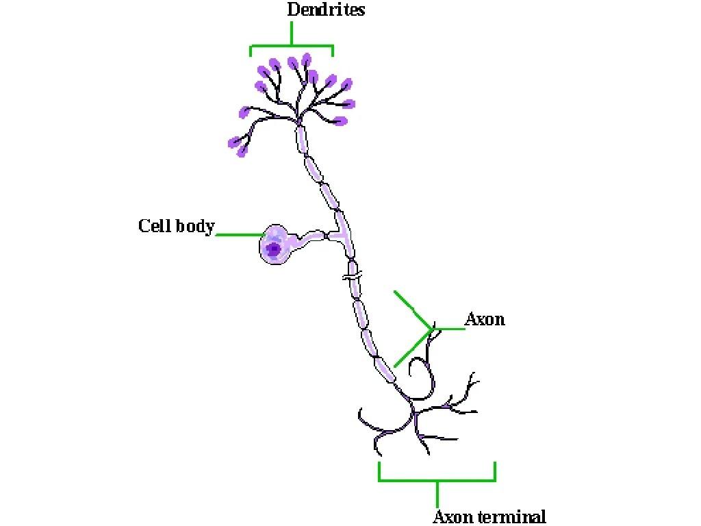 basic neuron diagram hino fd wiring neurons