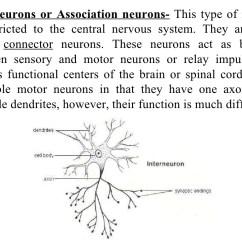 Basic Neuron Diagram Astra Mk4 Wiring Neurons