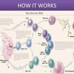 Diagram Of How Vaccines Work 2006 Nissan Sentra Fuse Newer It Works 24 Toxoids Bacterial