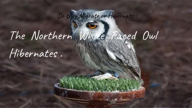 northern white faced owl