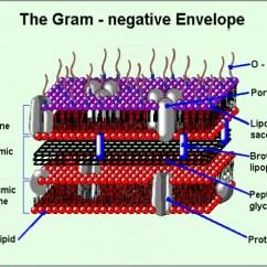 Bacteria Structure Diagram 2003 Pt Cruiser Speaker Wiring O Antigens Escherichia Coli