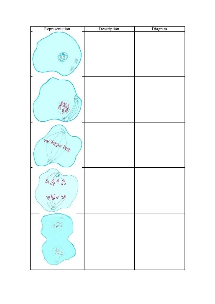 onion root tip diagram how to create a swimlane in visio prac