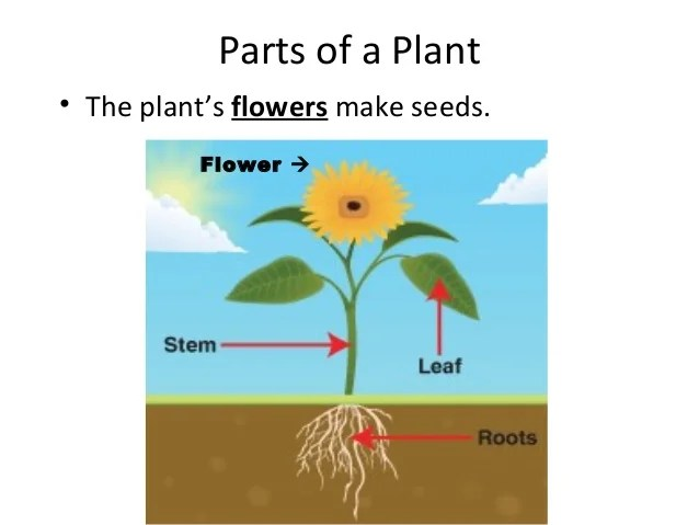 sunflower plant life cycle diagram how to read automotive wiring diagrams parts of a plant/plant (teach)