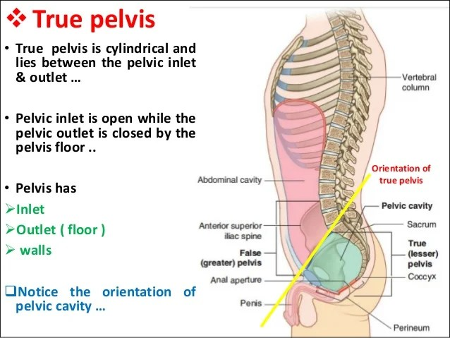 True Pelvis Boundaries Wwwbilderbestecom