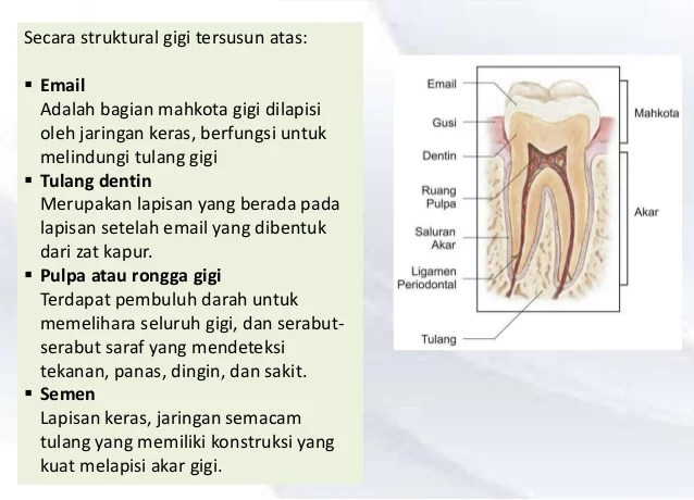 BIOLOGI Pencernaan di rongga mulut