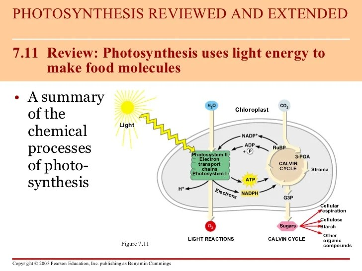 light reactions photosystem diagram of car stereo wiring photosynthesis