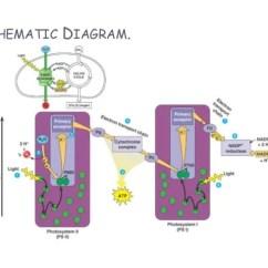 Photosynthesis Z Scheme Diagram List Of Dumbbell Exercises Diagrams Schematic 29