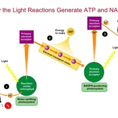 Light Reactions Photosystem Diagram How To Wire A Plug Of Nadph Wiring Today Solved Use The Below Answer Questions 4 What Easy Water Cycle Diagrams