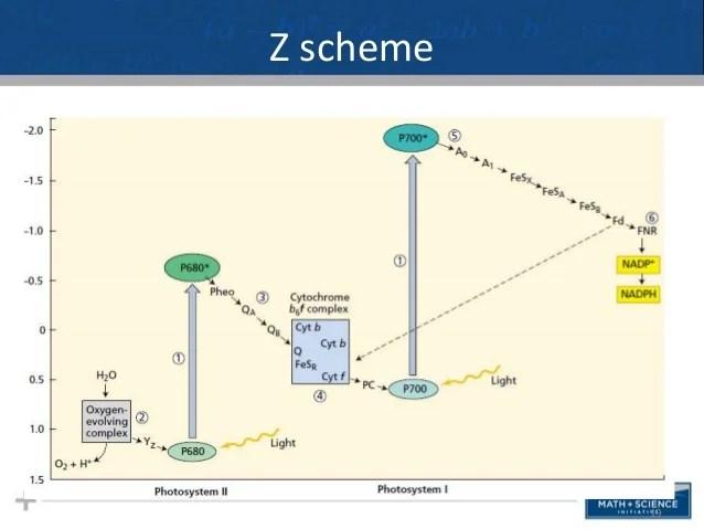 photosynthesis z scheme diagram sap business process 1 19