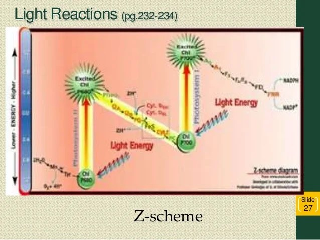 photosynthesis z scheme diagram c2r chy4 wiring 2016 light reactions pg 232 234 slide 27