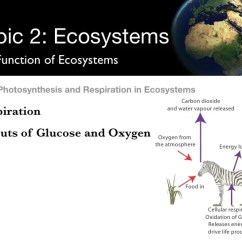 Diagram With Inputs And Outputs Of Photosynthesis Process Led Wiring Trailer Lights Respiration In Ecosystems Processes 43