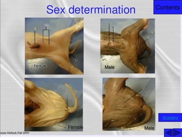 external fetal pig muscle diagram ls1 coil pack wiring contents sex determination answers male female 4 to anatomy