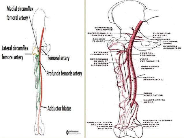 vascular anatomy diagram lower 2017 subaru wrx stereo wiring presentation1 pptx radiological of the upper and lo 31