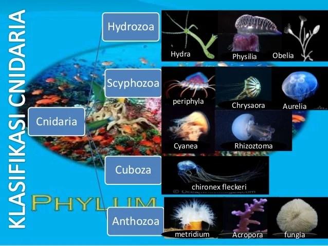 Cnidaria Dan Ctenophora Ciriciri struktur tubuh