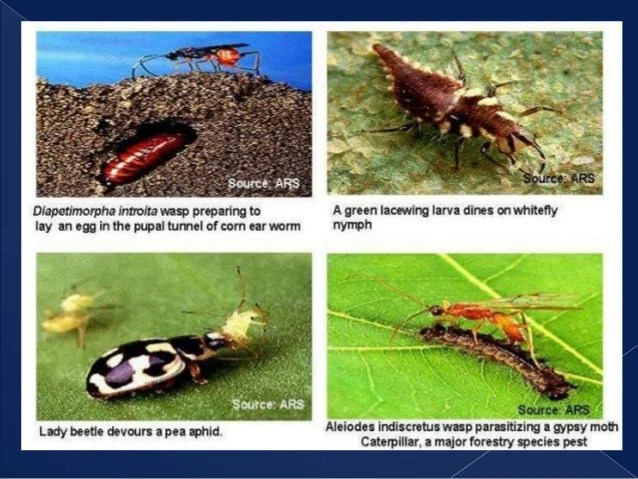 Identification Of Common Natural Enemy Of Crop Pests And Weeds