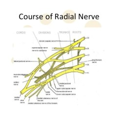 Radial Nerve Diagram Origami Panda Anatomy 10 Course Of