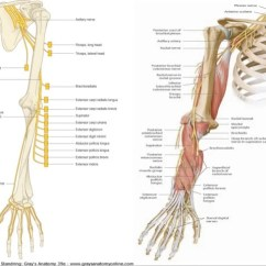 Radial Nerve Diagram 97 F150 Wiper Motor Wiring Course Relations Applied Anatomy 25 Summary
