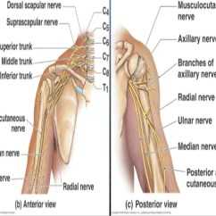 Radial Nerve Diagram International 4300 Wiring Diagrams Course Relations Applied Anatomy