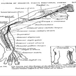 Radial Nerve Diagram Vauxhall Astra F Wiring Course Relations Applied Anatomy Post View Ant 6 Of