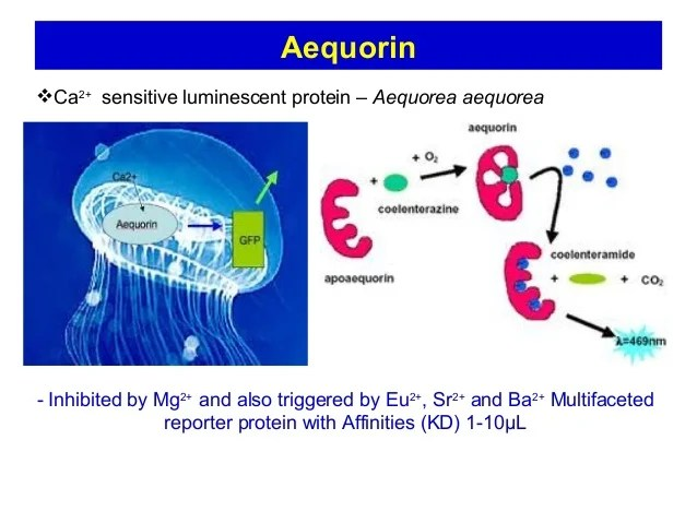 AequorinCa2+ sensitive luminescent protein – Aequorea aequorea- Inhibited by Mg2+ and also triggered by Eu2+, Sr2+ and Ba...