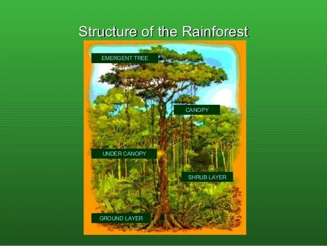 amazon rainforest layers diagram 96 nissan maxima wiring rainforests in the forest 6