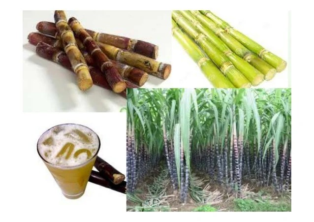 第四課種甘蔗的人