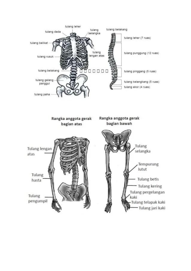 Gambar Rangka Badan : gambar, rangka, badan, Rangka, Tubuh, Manusia