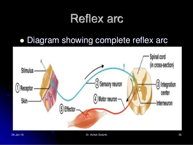 reflex arc diagram how to a sentence worksheet reflexes clasifications and functions
