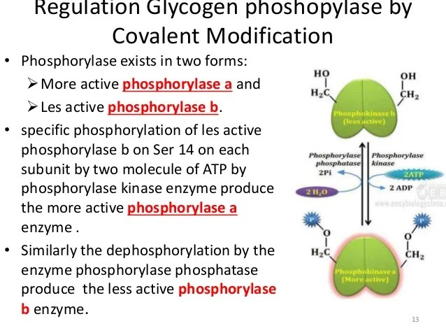 Regulatory and allosteric enzymes and allostrerism