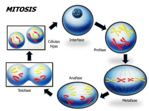 reproduccin asexual mitosis y meiosis 6 638 - Mitosis y Meiosis Definición y fases