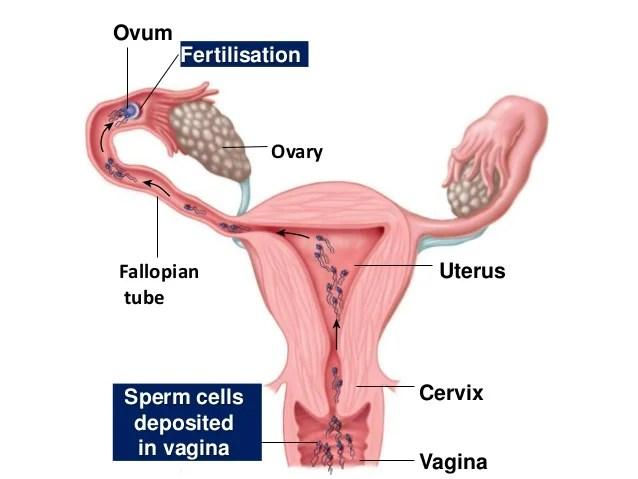 Hasil gambar untuk fertilization sperm pathway