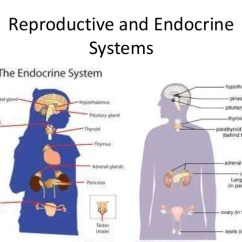 Endocrine System Diagram 2007 Gmc Sierra Trailer Wiring Reproductive And Systems