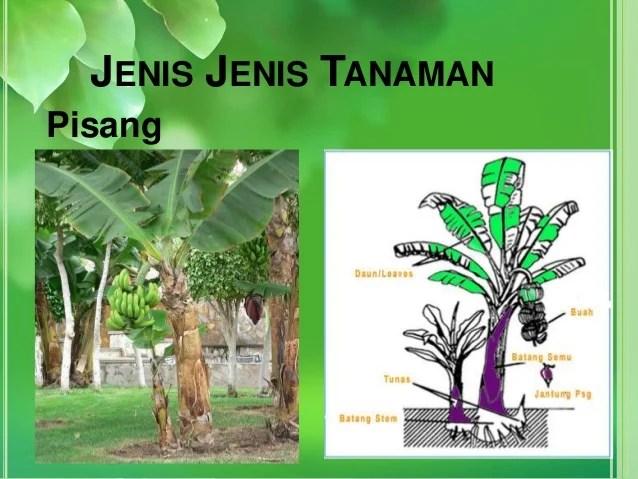 Reproduksi Tumbuhan Melalui Tunas  Membelah Diri