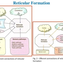 Reticular Formation Diagram Dodge Ram Wiring 2006 Activating System Fig