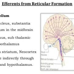 Reticular Formation Diagram 1997 Honda Crv Fuse Box 14 Efferents From
