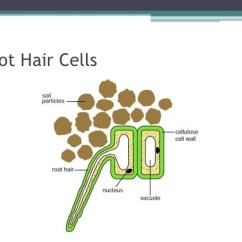Mesophyll Cell Diagram Step Down Transformer Root Hair Cells And Water Transport