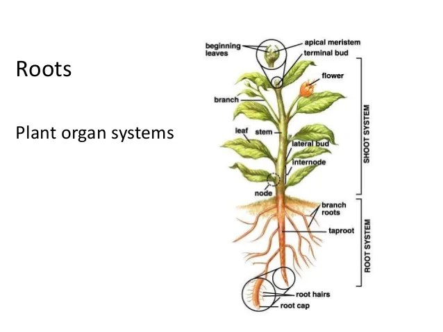 labelled diagram of soil profile bobcat 610 parts roots and stems - botany lab semi finals