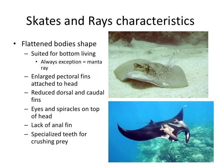 ray and skate diagram 1981 cb750 wiring skates rays diagrams www picswe com sharks jpg 728x546