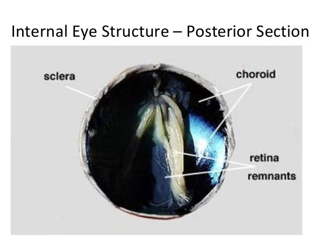 Cow Eye Ciliary Body