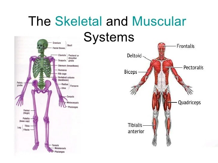 skeletal and muscular system diagram 12 pin relay wiring