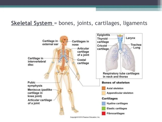 Diagram Heel Bones
