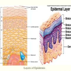 7 Layers Of Skin Diagram 2005 Kia Spectra Stereo Wiring All About 7layers Epidermis