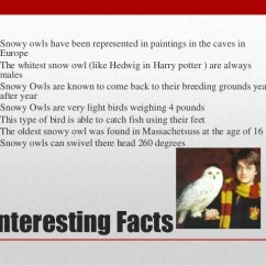 Snowy Owl Adaptations Diagram 92 S10 Stereo Wiring Copy Intresting Facts 14 Owls